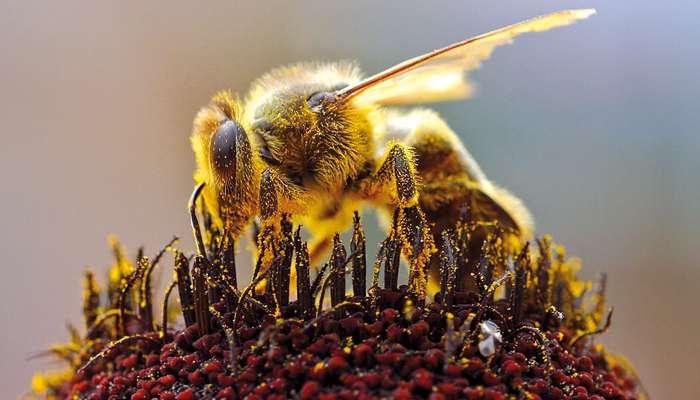 Le vaccin des abeilles