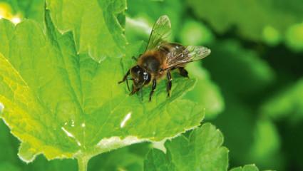 Le miellat douceur des abeilles