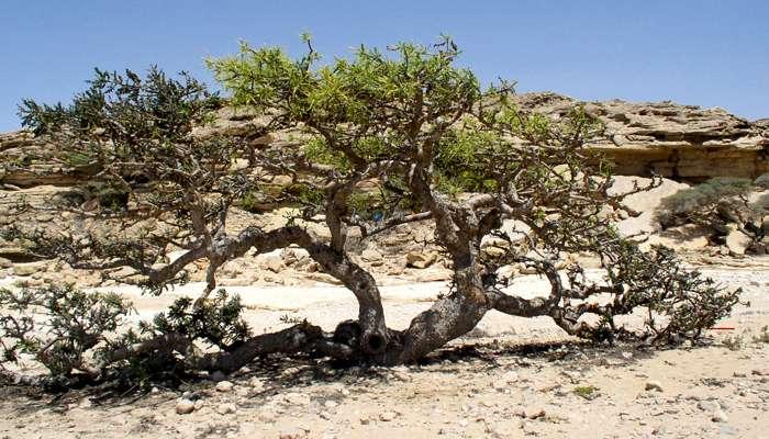 Asthme: bienfaits du Boswellia serrata