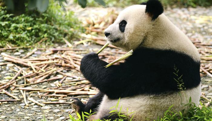 Le secret de l'énergie du futur  est-il dans les déjections de panda?