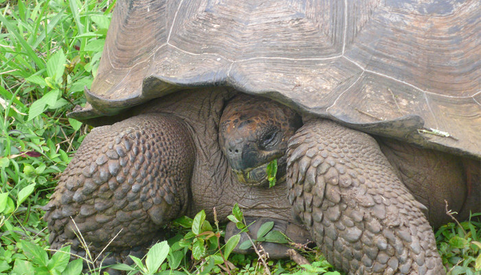 Tortue géante Geochelone abigdoni, sauvetage de l'espèce ?