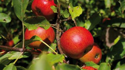 La pomme, un alicament à l'état brut