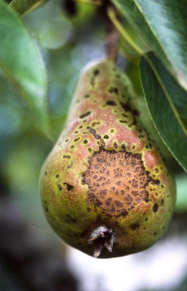 Des pommes, des poires… sans tavelure !