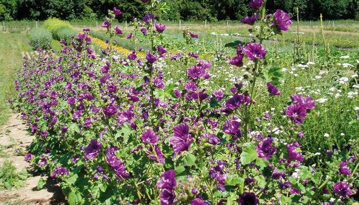Culture et cueillette de plantes aromatiques