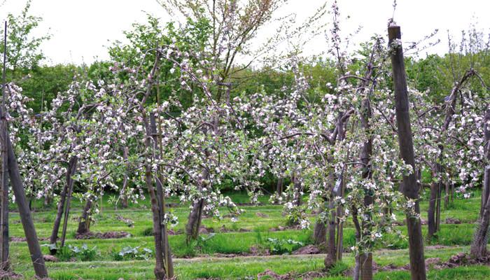 Pommes de Chorette  et pommes d'api…