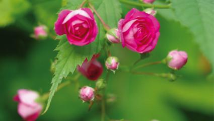 Des rosiers sans entretien