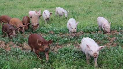 Cochon bio de Borre