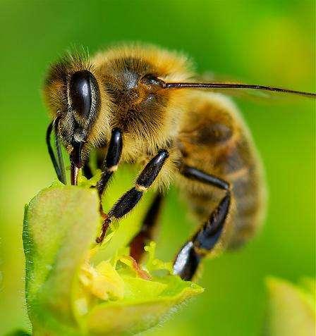 Disparition des abeilles : omerta sur les pesticides