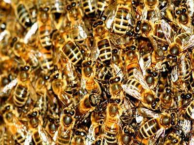 Abeilles en détresse, les apiculteurs ont le bourdon