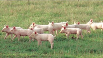 En Vendee, Bioporc rend au cochon son caractère