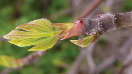 Gemmothérapie : les bourgeons sont-ils efficaces?