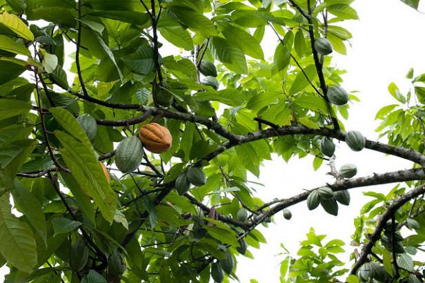 Cacao : la production mondiale mise sur des variétés hybrides