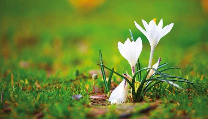 Planter les bulbes printaniers