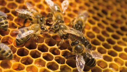 Miel et cicatrisation : des vertus validées par la science