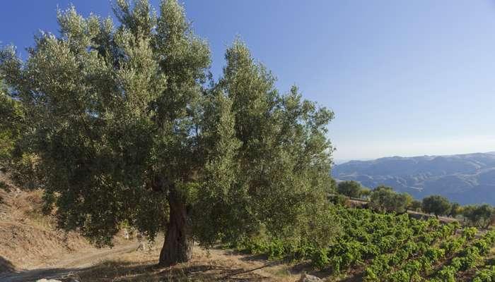 L'huile d'olive a ses vertus santés que la science a validées