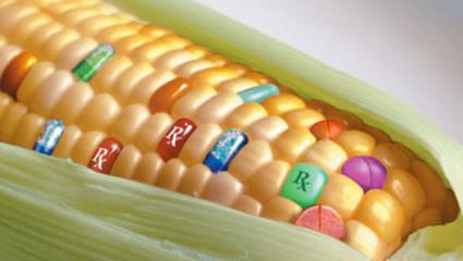 Oui, des OGM traînent dans nos assiettes