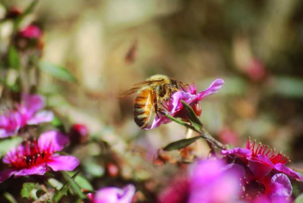 Le miel de manuka, un antiseptique au-dessus des autres