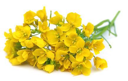 La moutarde, une huile capillaire de choix