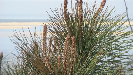 Le pycnogénol, force du pin des Landes