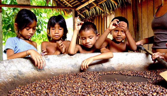Le Warana, histoire d'un sauvetage  chez les Indiens Sateré Mawé