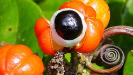 Le guarana, un stimulant qui n'excite pas